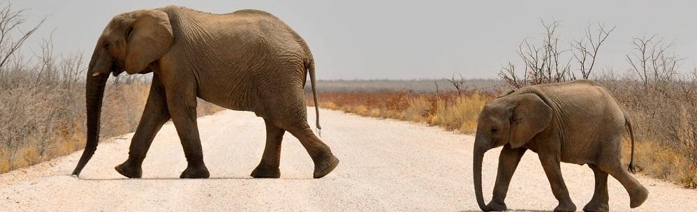 Elephants Namibie